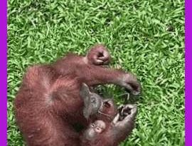 A curious orangutan trying on a pair of sunglasses that fell into its enclosure