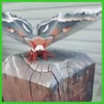 Cecropia moth is the largest moth found in North America