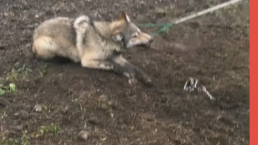 Timber Wolf released