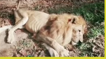 Lion forms bond with lady who saved him