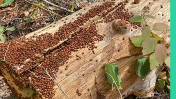 My wife found a super cluster of ladybugs while hiking in Idaho last week…